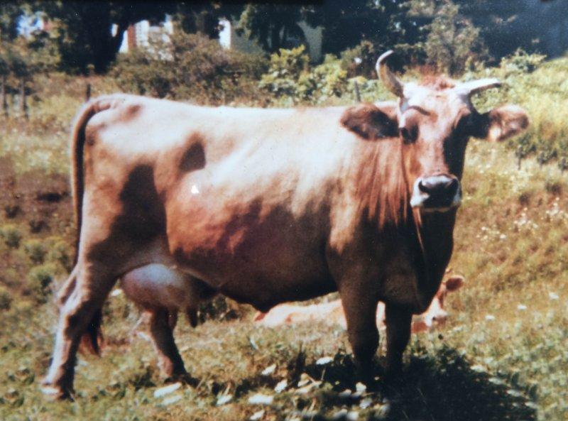 Smith Cow
