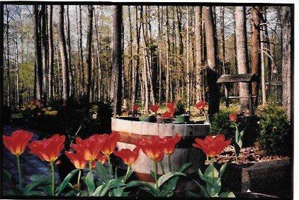 Joyce's Tulips