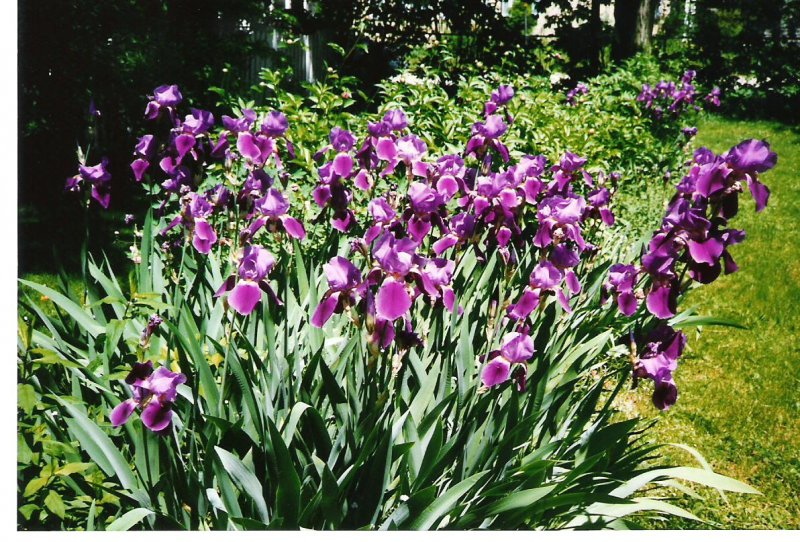 1997-spring-josies-iris-bed