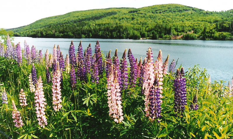 2005-06-24-lupins-on-cape-breton-island