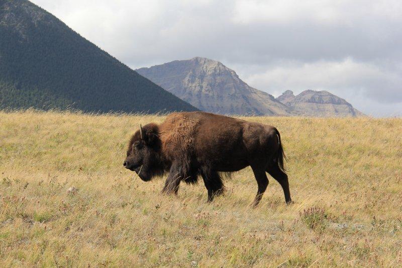 2013-09-16-39-bison-img_3806