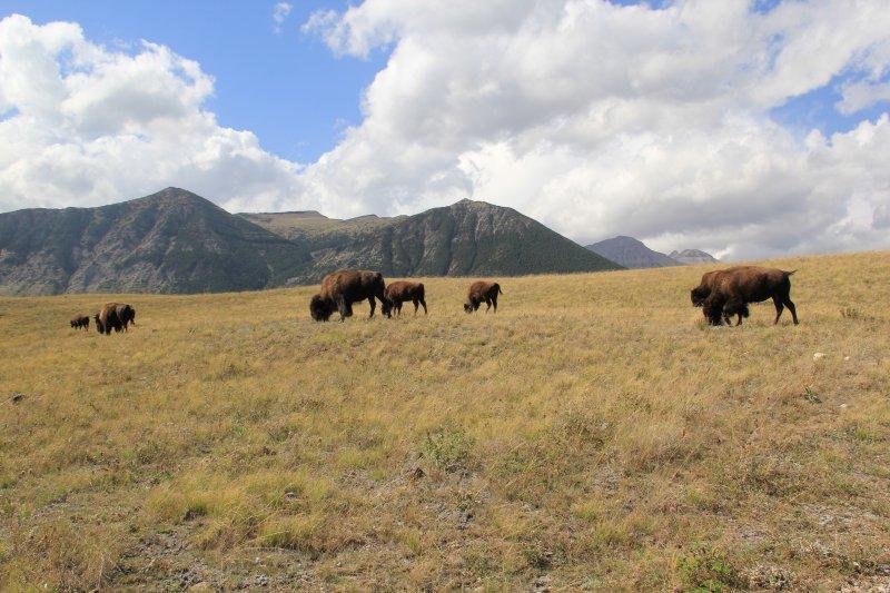 2013-09-16-40-bison-img_3814