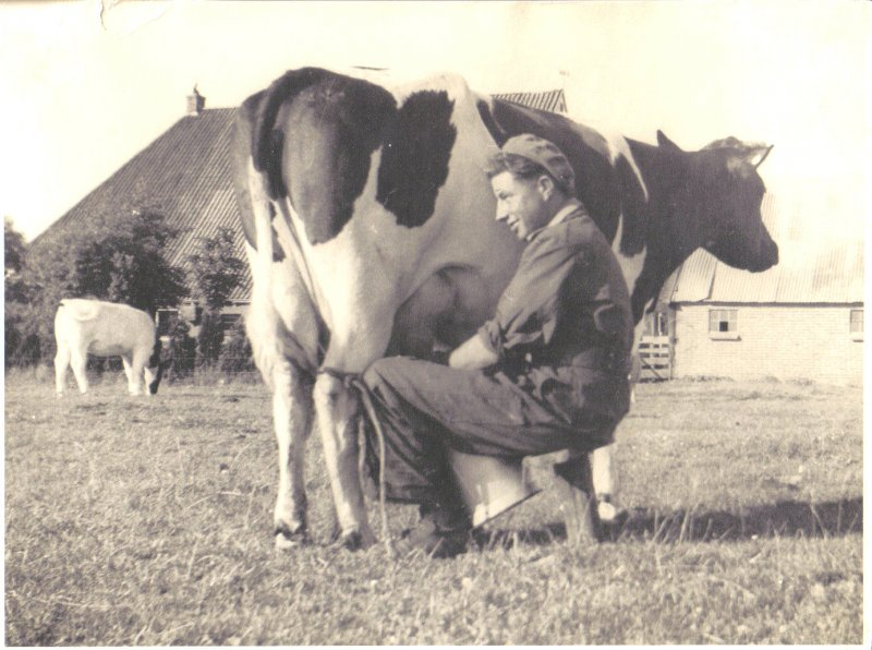 dad in field milking cow